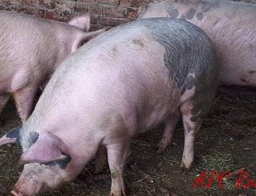 APC: 500.000 de porci din gospodăriile ţărăneşti nu pot fi vânduţi!